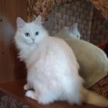 Белоснежная кошка обаяшка, Челябинск