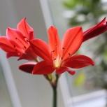 Валотта прекрасная - цветок, луковичный, Челябинск