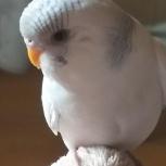 Пропал попугай, Челябинск