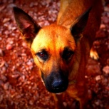 Собака алиска в добрые руки, Челябинск