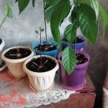 Продам растения авокадо, Челябинск