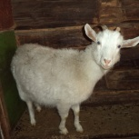 продам  козу, Челябинск