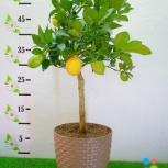 Лимонное дерево в горшке, Челябинск