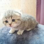 шотландский вислоухий котенок, Челябинск