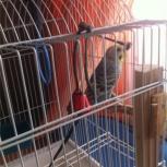 продам попугая, Челябинск