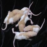 Крысята, Челябинск