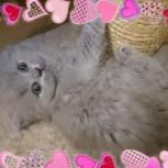 Английские длинношерстные котята (Хайленд), Челябинск