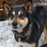 Собака Лада в добрые руки, Челябинск