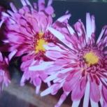 Цветы Хризантемы Корейские, Челябинск