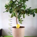 Лимонное дерево с плодами Челябинск, Челябинск