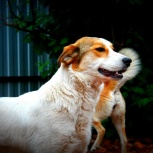 Собака ася в добрые руки, Челябинск