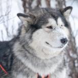 Аляскинский маламут, Челябинск
