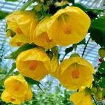 Комнатное растение.Растение абутилон . Гибридный, Челябинск