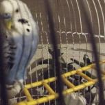 приму в дар попугая (девочку) 2-3 года, Челябинск