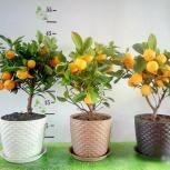 Цитрусовое дерево - Мандарин, Челябинск