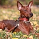 Собака кобель цвергпинчера ( карликовый пинчер)  приглашает на вязку, Челябинск