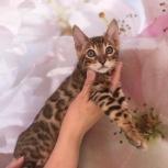 Яркий бенгальский котик. Продажа, Челябинск