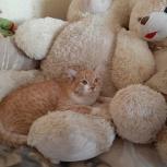 Рыжий кот красавчик в добрые руки., Челябинск