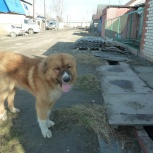 отдам в хорошую семью песика, Челябинск