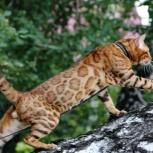 Бенгальские котята, Челябинск