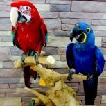 Попугаи - абсолютно ручные птенцы из питомника, Челябинск