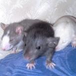 Крысята месячные, Челябинск