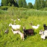 Козы и козлята продажа, Челябинск