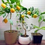 Лимоны на прививке, Челябинск