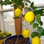 Лимон - комнатный - плодоносящий, Челябинск