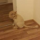 Стрижка кота под льва, Челябинск