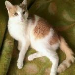 Нежнейшая котеночка, молодая, сливочки +абрикосик, Челябинск