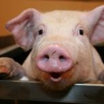 Продам мясо свинины., Челябинск