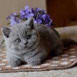 Котята британские короткошерстные, Челябинск
