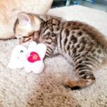 продается котенок мальчик, Челябинск