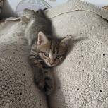 Котята от домашней кошки, Челябинск