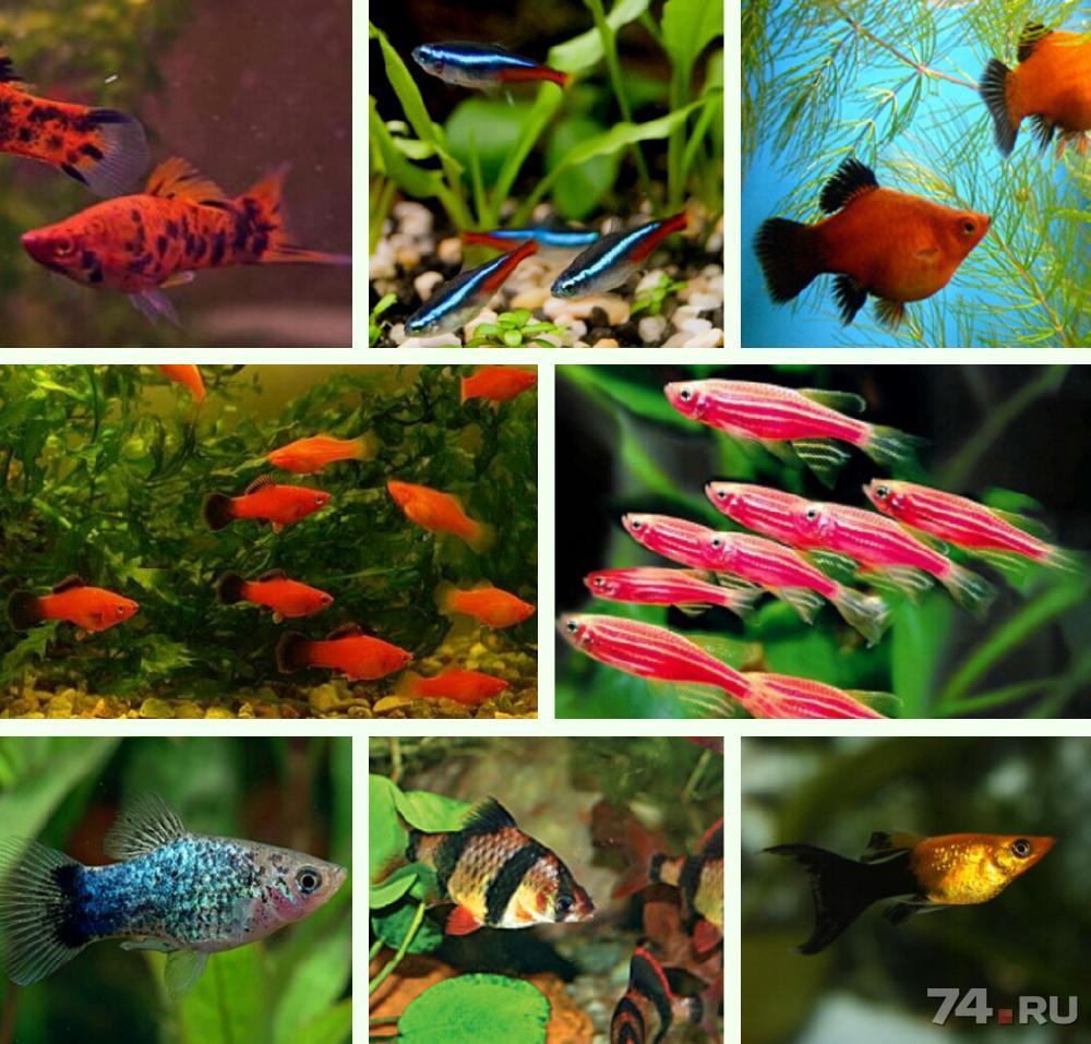 скорей все названия аквариумных рыбок с картинками комнат