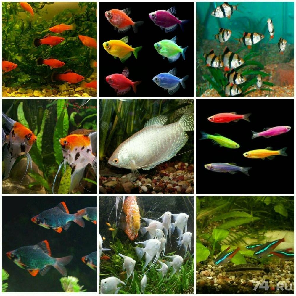 Аквариумные рыбы все виды в картинках